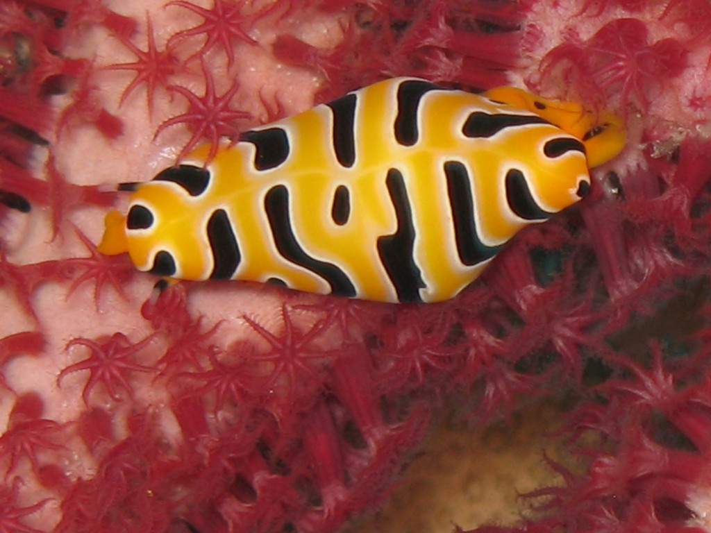 Tiger Cowrie